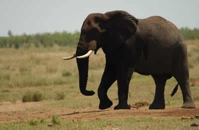 elephant-walking.jpg