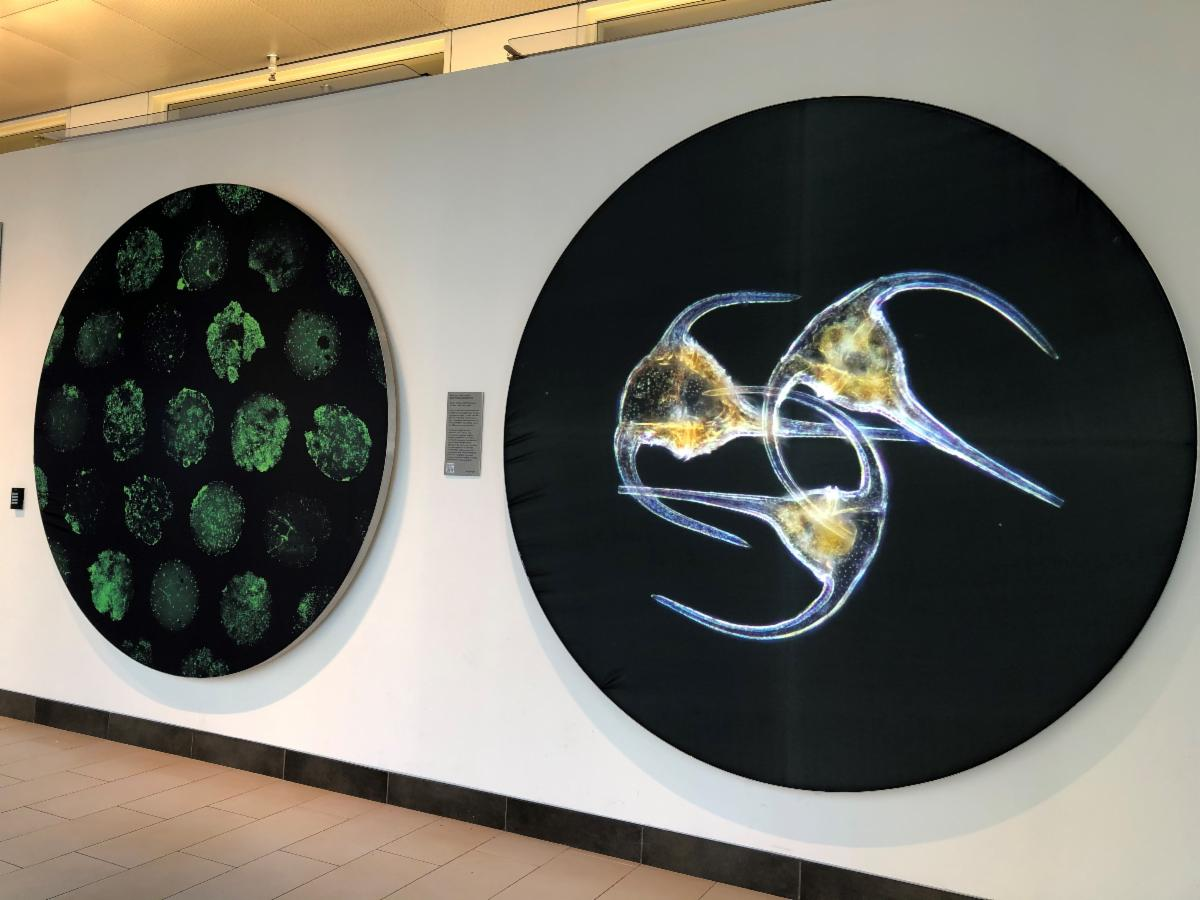 Two circular images of microscopic sea creatures on the wall of the Koch Institute gallery