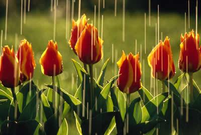 raining-tulips.jpg
