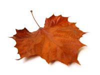 Fall Leaf 200px