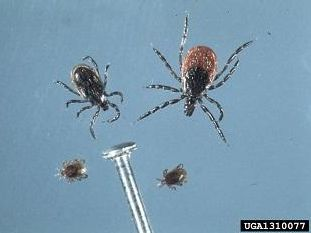 Blacklegged ticks (Ixodes scapularis). Photo: Jim Occi, BugPics, Bugwood.org