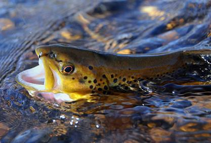 Brown Trout Fly in Mouth