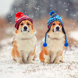 Corgis in winter hats