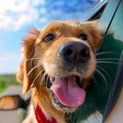 Golden retriever looking out car window