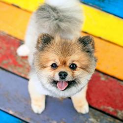 Pomeranian on picnic table