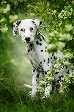 Dalmation puppy outside