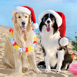 Dogs in Santa hats on the beach