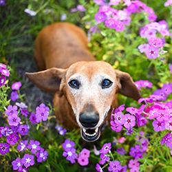 Dachshund in flowers