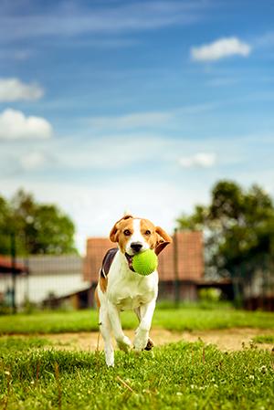Beagle outside with ball