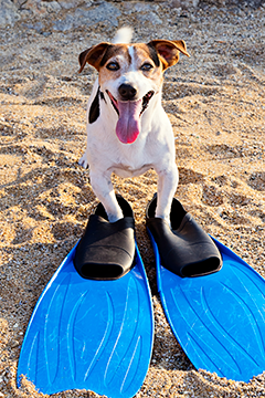 Jack Russell terrier with flippers