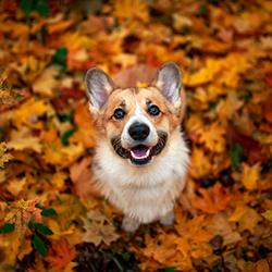 Corgi in fall leaves