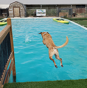 Indy diving into pool