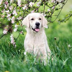 Golden retriever under flowering tree