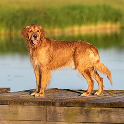 Golden retriever on dock