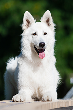 White Swiss shepherd outdoors
