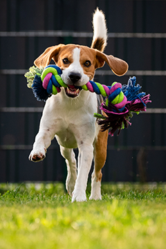 Beagle with toy
