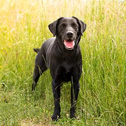 Labrador in tall grass