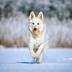 White shepherd running with ball