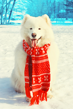Samoyed in red scarf