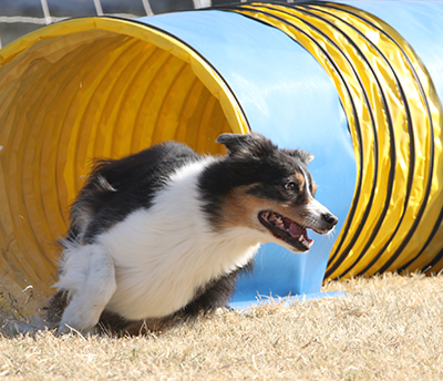 Ria competing in agility