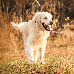 Golden retriever outdoors
