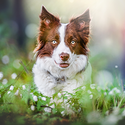Border collie in forest