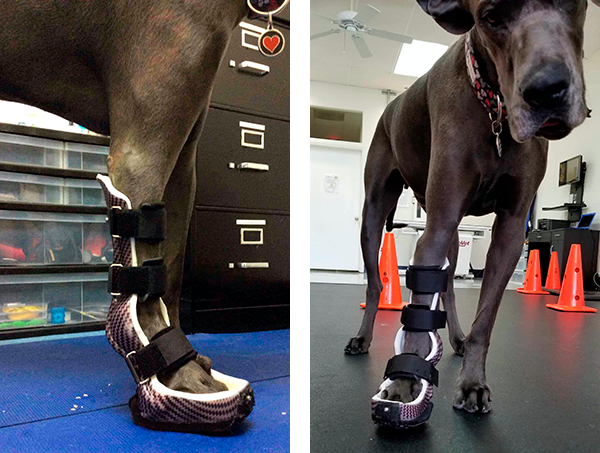 Benny_ a client of OrthoPets