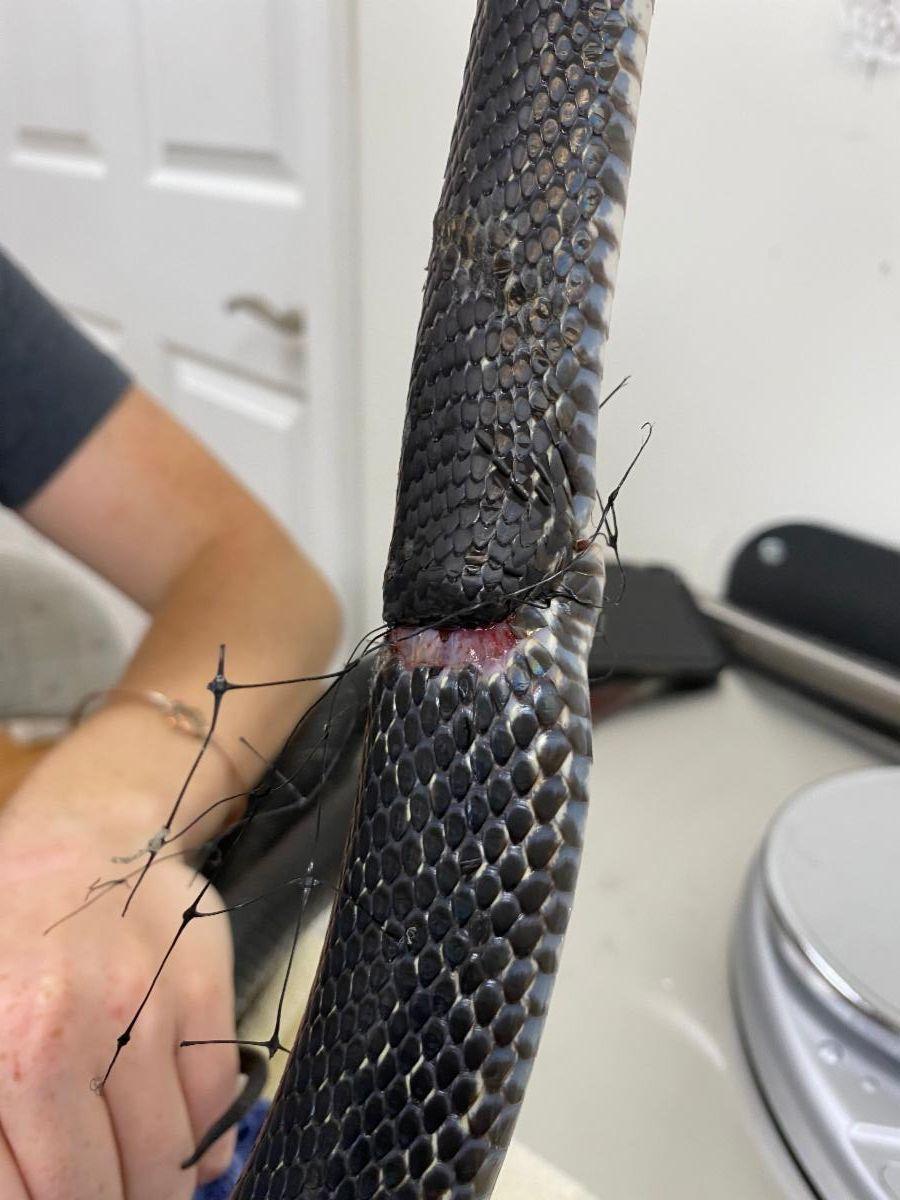 Black Rat Snake injured by netting
