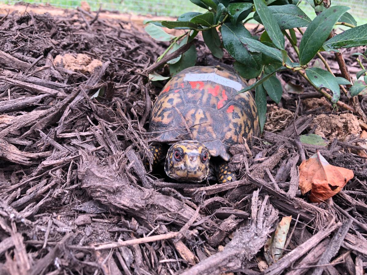 Eastern Box Turtle in turtle pen