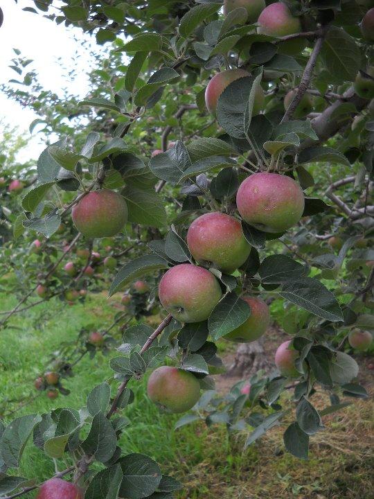 Windy Hill apple