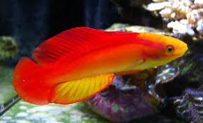 Flame Angels Bogo Frags And Hawaii Yellow Tangs Back In Stock