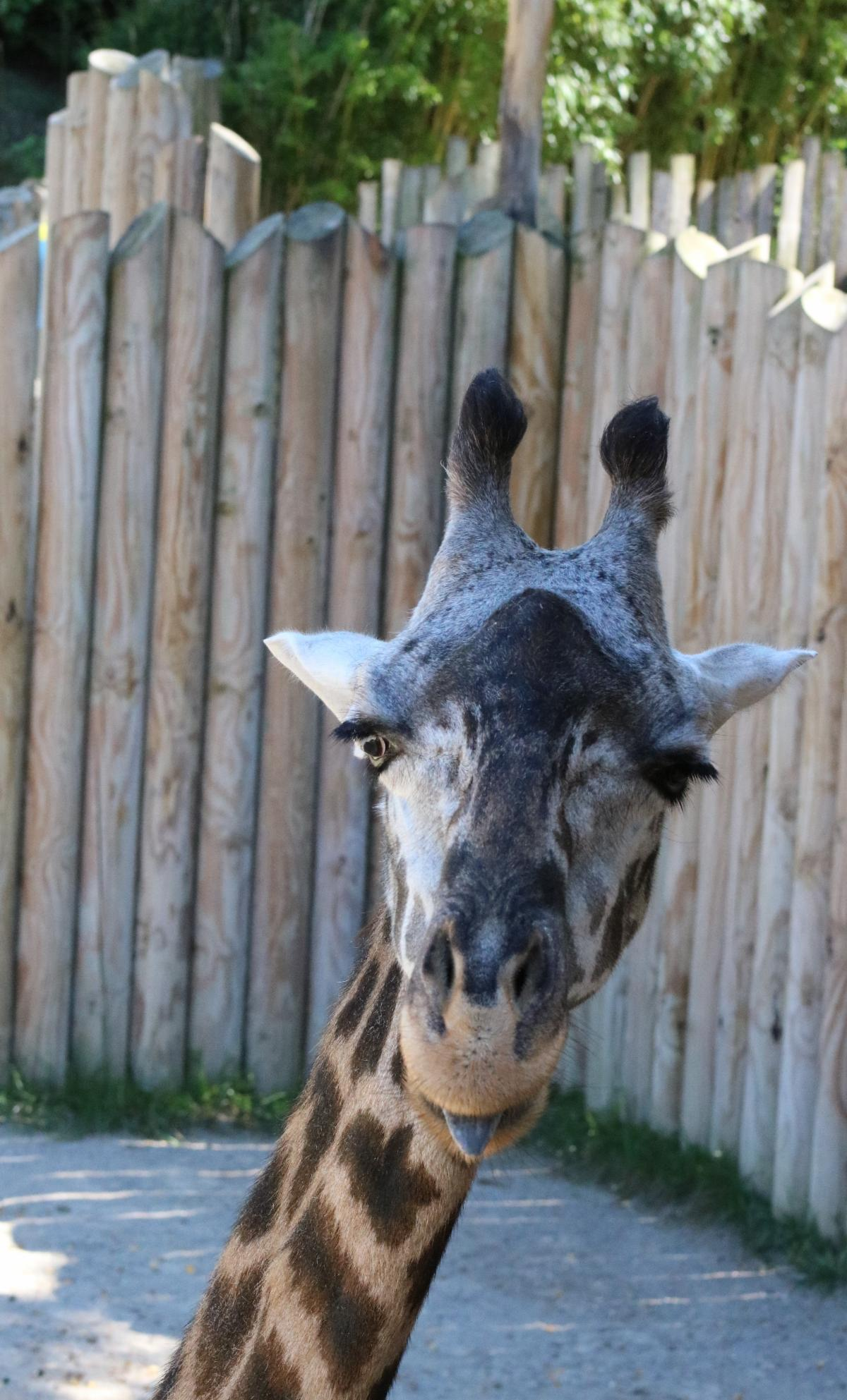 Picture of a giraffe at the zoo