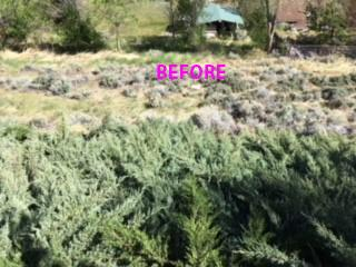 A picture of thick ornamental junipers on the ground. The word 'before' is on the photo.