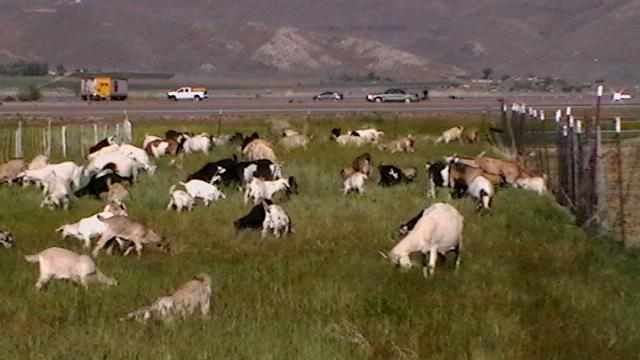 Goats grazing in a field with a street and mountains in the background.
