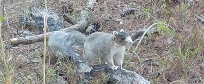 photo of a fox squirrel on the ground