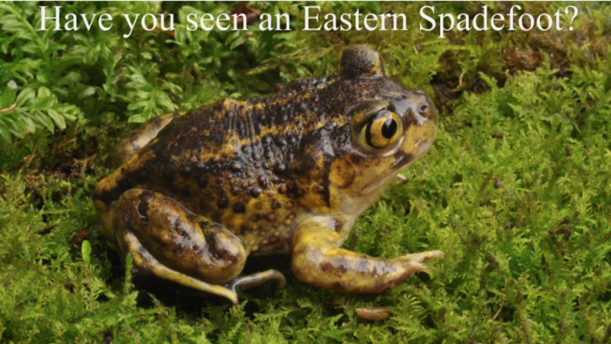 Photo of Eastern Spadefoot toad, golden and brown in color, with golden eyes and vertical pupils, sitting on a bed of moss.  Text on the photo reads: Have you seen the Eastern Spadefoot?
