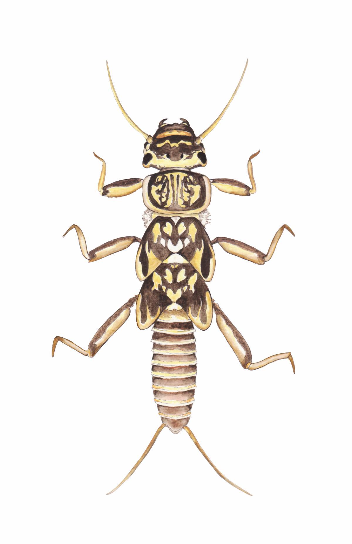 Painting of stonefly larva, brown and yellow