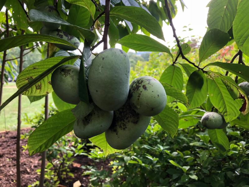 Pawpaw fruits hanging on a tree
