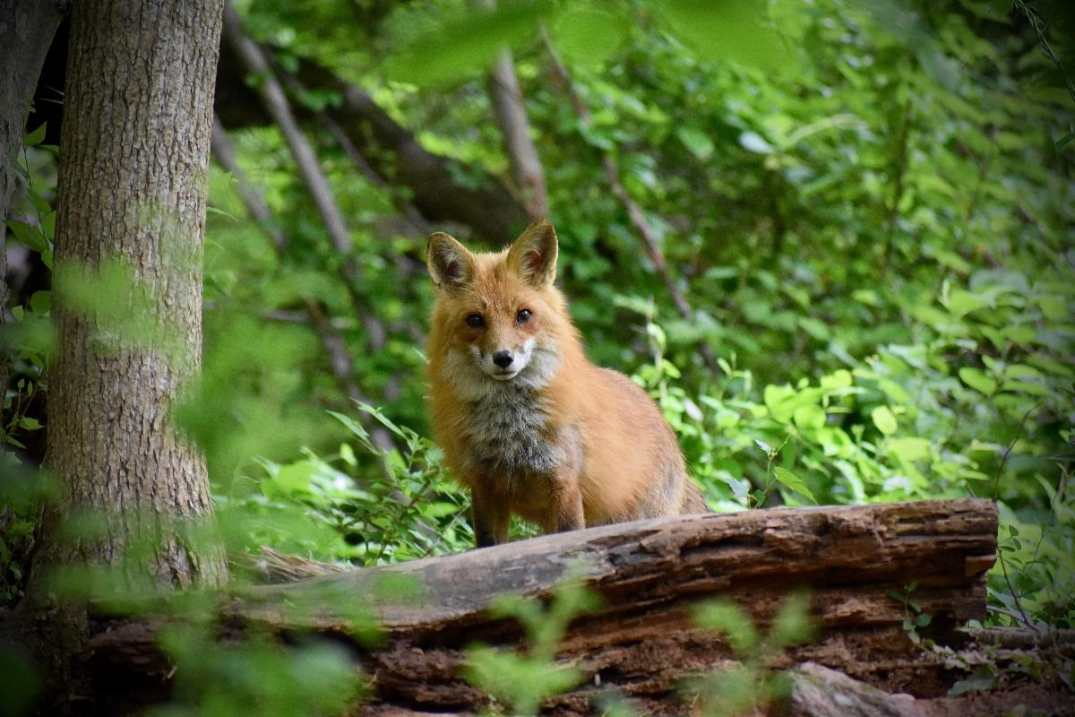 red fox standing behind a log in a forest, looking directly at the camera, surrounded by green leaves