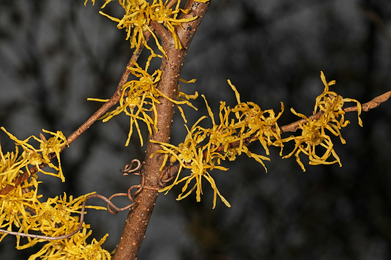 close up of yellow witch hazel blossoms