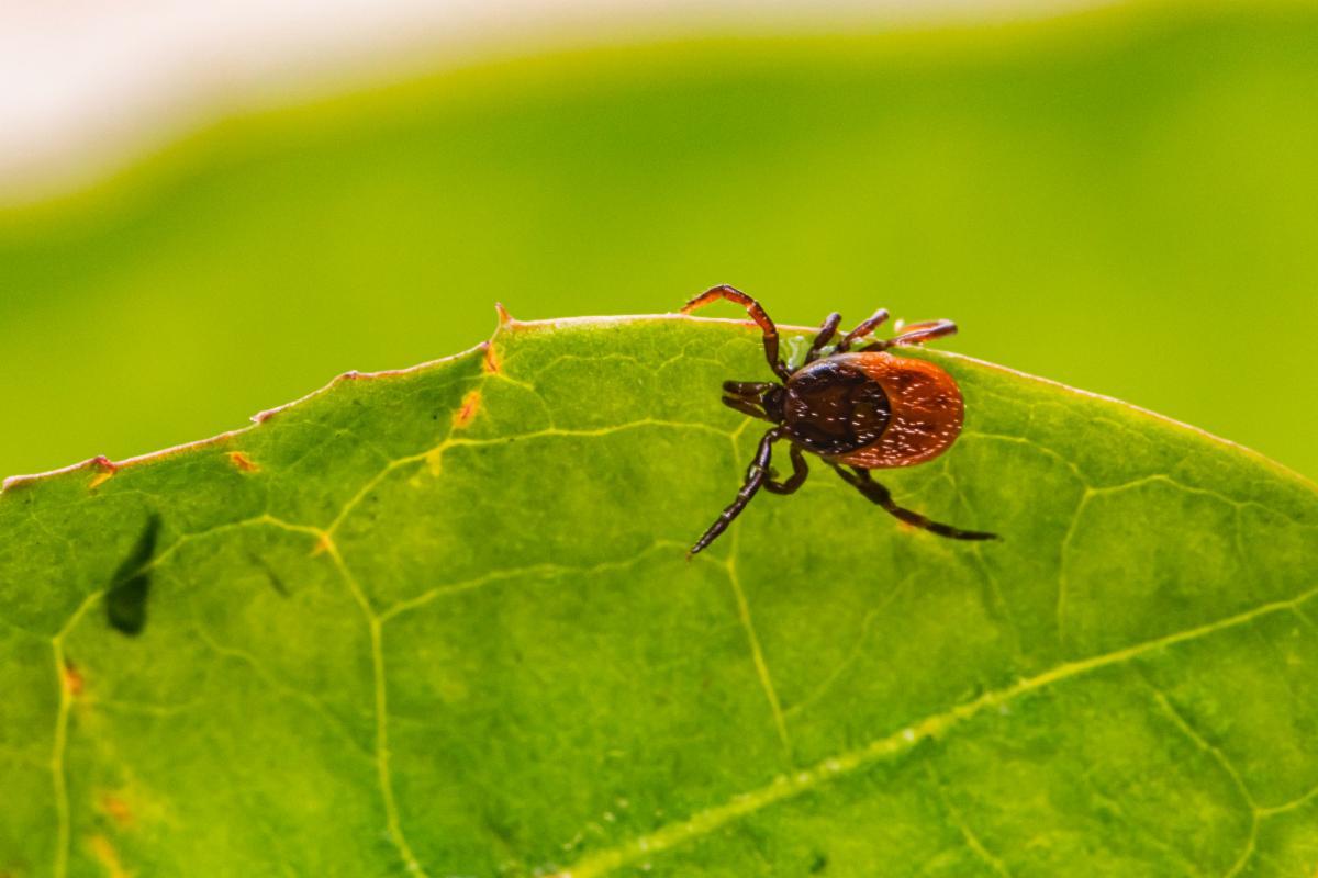 black-legged tick on edge of green leaf