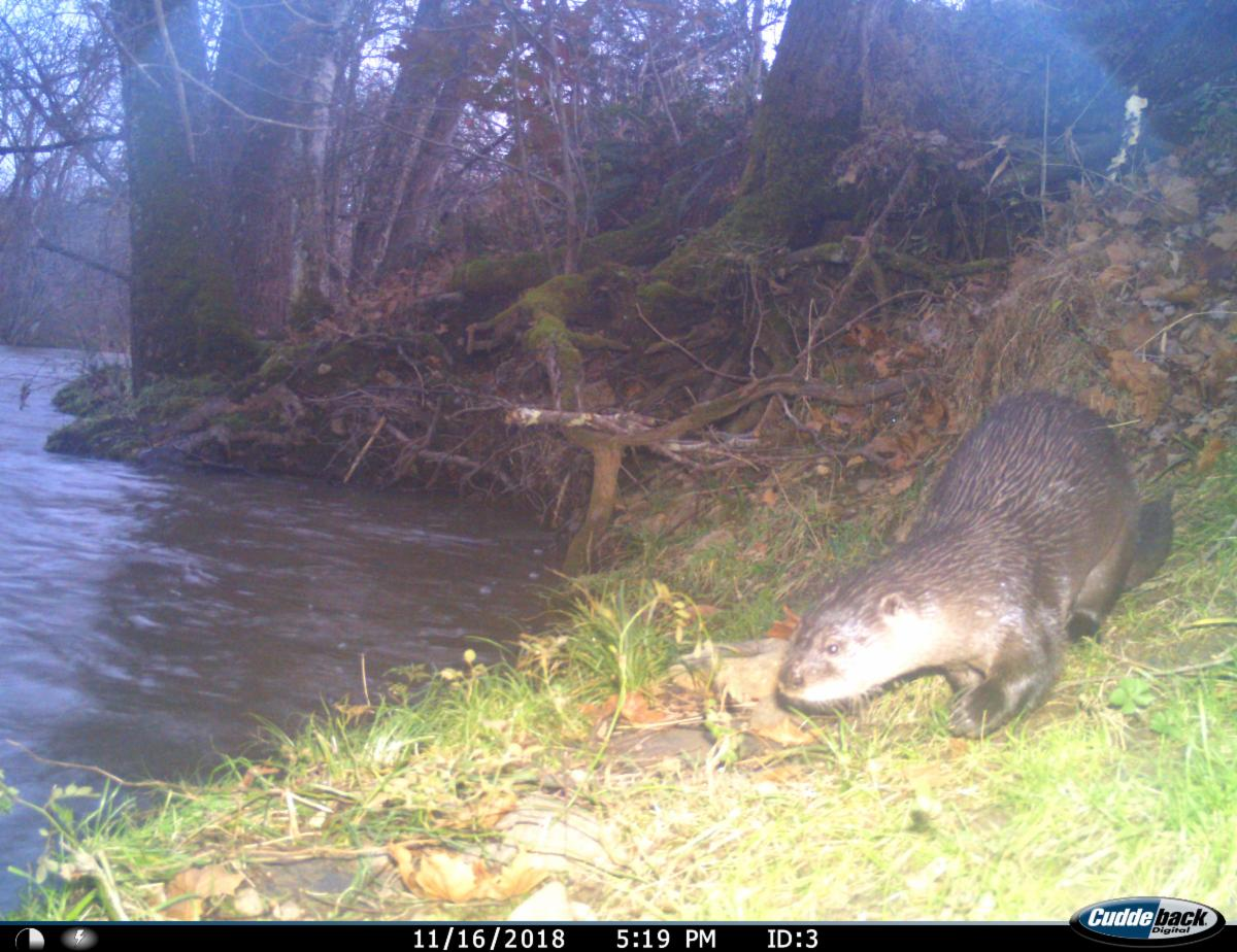trail camera photo of a an otter next to a river