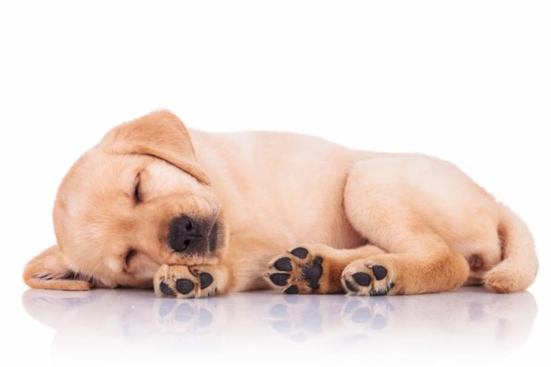 yellow_lab_puppy_nap.jpg