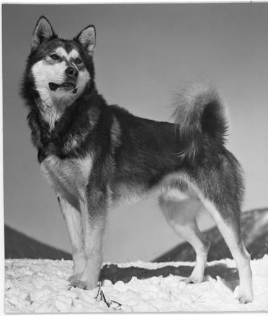 Yukon King _Sgt. Preston of the Yukon filmed at Ashcroft_ from the Toklat Husky Kennels.  Circa 1956
