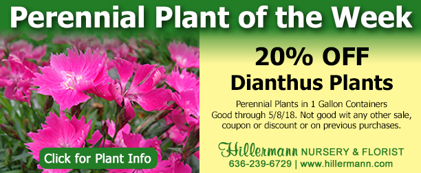 Perennial Plant of the Week - Dianthus with a special at Hillermann Nursery and Florist and a link to plant information