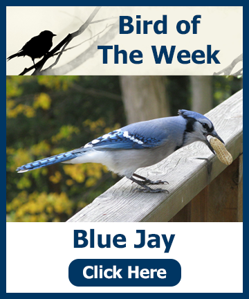 Bird of the Week 1-31-18 - Blue Jay! Click the image for information and a special offer!