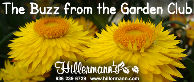 Picture of Strawflowers with the Hillermann logo and email heading text. Hillermann Nursery and Florist