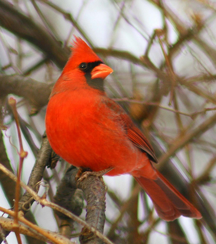 A cardinal bird on a tree branch