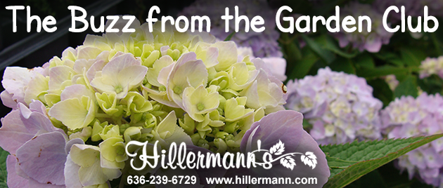 Hydrangea picture with text and the Hillermann logo - The Buzz from the Garden Club