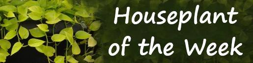 Houseplant of the Week - picture of a houseplant with text graphic